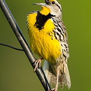 May 15, 2013 - Pleasant Hill, Kentucky, USA - An Eastern Meadowlark calls out, signaling it's location and territory at Shaker Village. (Credit Image: © David Stephenson/ZUMA Press)