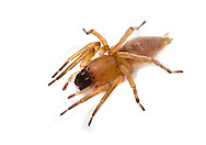 Clubiona terrestris - Female. A common nocturnal hunting spider of undergrowth and leaf litter in southern Britain