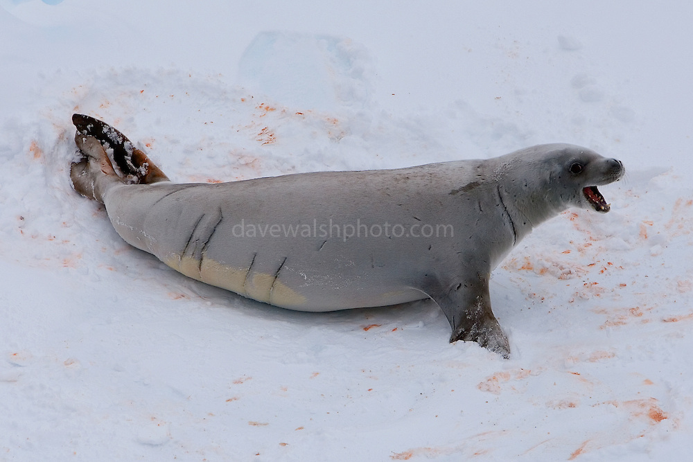 "Crabeater seal. Crabeaters are perhaps the ""second most numerous large species of mammals on Earth, after humans"" with populations of around 50 million. The crabeater eats krill - hence the pinky orange colour on the snow"