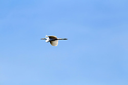 24 May 2016: Emiquon National Wildlife Refuge<br /> Breat Egret