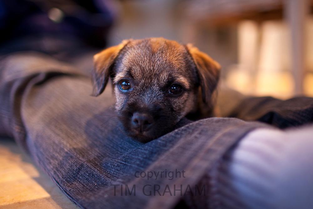 Cute Border terrier puppy 10 weeks old