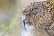 Kea, portrait, Fiordland, New Zealand