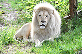De witte leeuwen