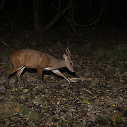 Muntjacs, also known as barking deer and Mastreani deer, are small deer of the genus Muntiacus.