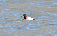 A Canvasback is a diving duck and spends most of its time in the open deep water ponds.