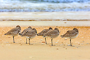 Flock of resting Willets at the beach one Cape Hatteras National Seashore.