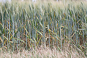 edge of a wheat field in late spring France Languedoc