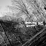 Italy, Basilicata- S. Francesco popular tree rite, the crash of the beech © 2012 Mama2
