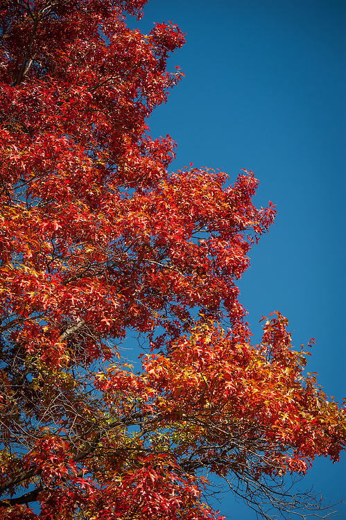 2016 October 11 - Autumn foliage against a blue sky in the University District, Seattle, WA, USA. By Richard Walker