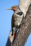Northern Flicker (red shafted, male), Lyons, Colorado