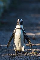 African Penguin walking, Bird Island, Algoa Bay, Eastern Cape, South Africa