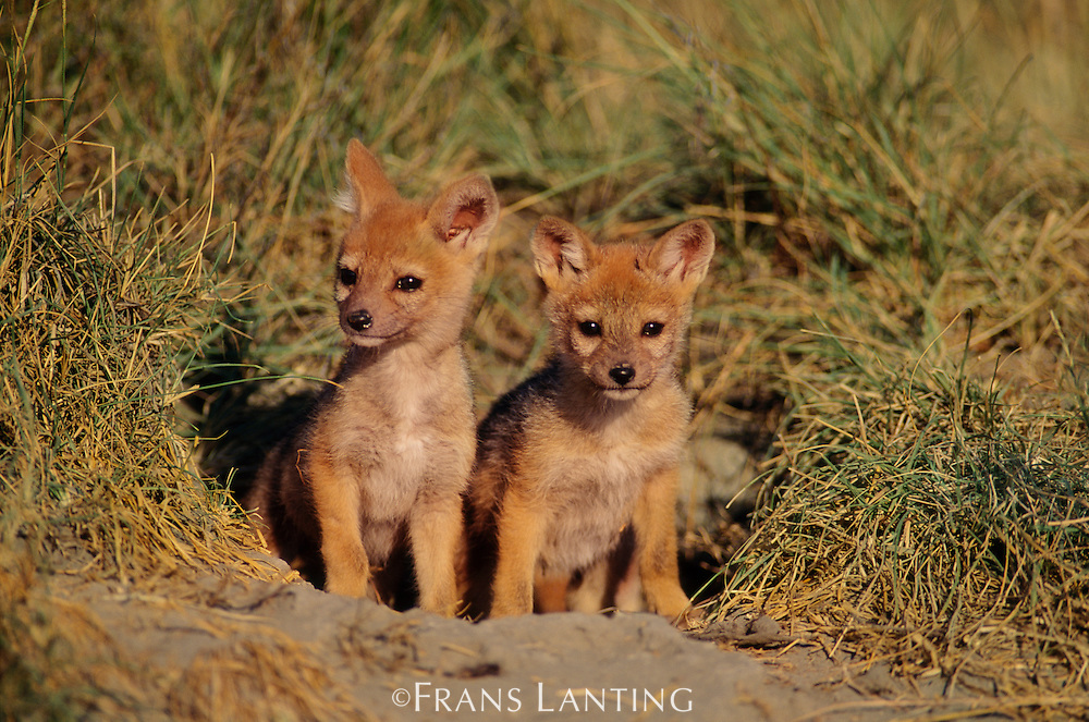 Black-backed jackal pups at den, Canis mesomelas, Masai Mara National Reserve, Kenya