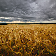 Golden wheat fields under moody skies in the Peace River region, Fort St John, British Columbia