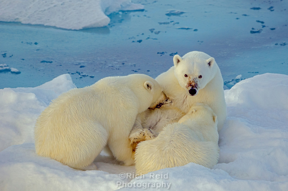 Sow polar bear nursing her two cubs on sea ice in Barrow Strait just south of Cornwallis Island in Nunavut, Canada.