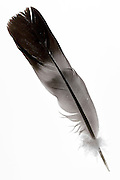 gray and black bird feather