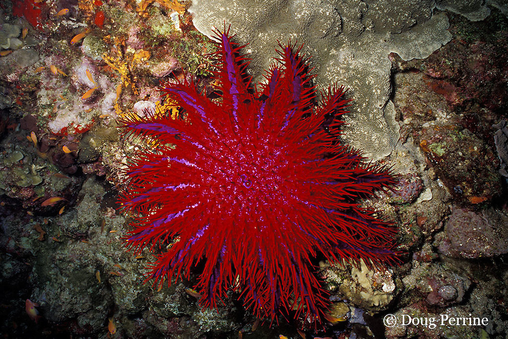 crown of thorns sea star ( starfish ), Acanthaster planci, Thailand ( Indian Ocean - Andaman Sea )