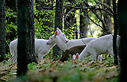 A pair of White Deer snuggle among a few others in a wooded area near Boulder Junction last week. The white deer are rare and protected by the Wisconsin Department of Natural resources.