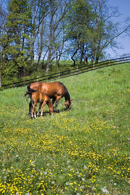 Horses grazing in sunny Spring field, a mare and her foal in buttercup flowers.