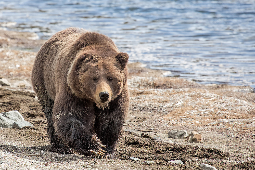 A large male grizzly ambles along the Yellowstone lakeshore. Male grizzlies can weigh up to 700 pounds, but most boars in the Greater Yellowstone Ecosystem average between 450-550 pounds.
