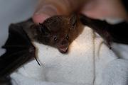 Lamanai - Wednesday, Dec 14 2005: Bat researcher Jen Blasko shows a bat caught in a mist net earlier that evening at Lamanai. (Photo by Peter Horrell / http://www.peterhorrell.com)