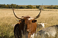 Longhorn Cattle, cows