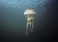Compass Jellyfish - Chrysaora hyoscella
