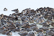 00748-05420 Canada Geese (Branta canadensis) flock on frozen lake at sunrise, Marion Co, IL
