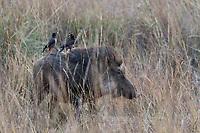 Wildschwein im Ranthambore National Park, Indien