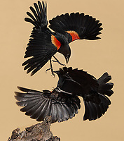 Red-winged Blackbirds, Agelaius phoeniceus<br /> Photographer: Wade Grassedonio<br /> Ranch: Texas Photo Ranch - River Revocable Surface, LLC - River Testamentary Surface, LLC<br /> Refugio County