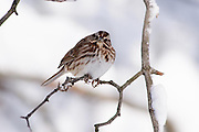 The song sparrow looked directly at me and appeared to wonder what I was and why was I there.  Its long toes and claws easily wrap around the twig.