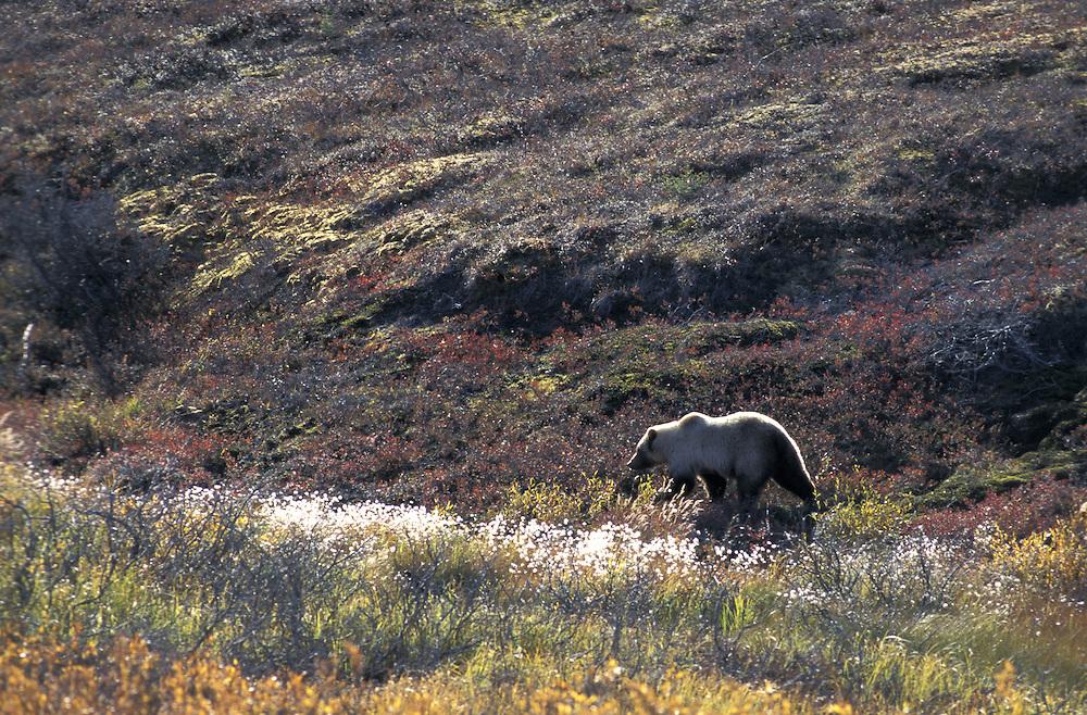 Grizzly Bear.Ursus Arctos.Brooks Range.Alaska.USA