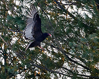 Turkey Vulture landing in a pine tree. Image taken with a Nikon D5 camera and 80-400 mm VRII lens (ISO 12800, 400 mm, f/5.6, 1/2000 sec).