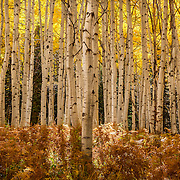 Aspen trees backlit by the afternoon sun show their golden fall color along Kebler Pass in the Colorado Rocky Mountains