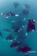 reef manta rays, Manta alfredi (formerly Manta birostris ), feeding on plankton, Hanifaru Bay, Hanifaru Lagoon, Baa Atoll, Maldives ( Indian Ocean ) (dm)