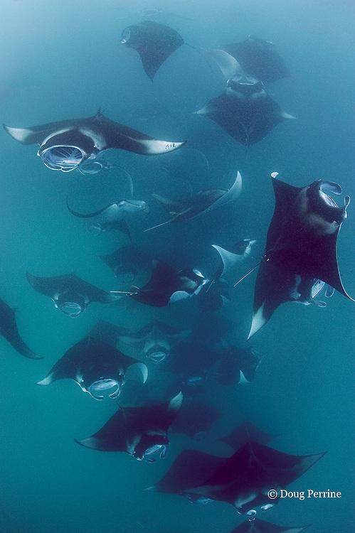 reef manta rays, Manta alfredi (formerly Manta birostris ), feeding on plankton, Hanifaru Bay, Hanifaru Lagoon, Baa Atoll, Maldives ( Indian Ocean ) (dm)