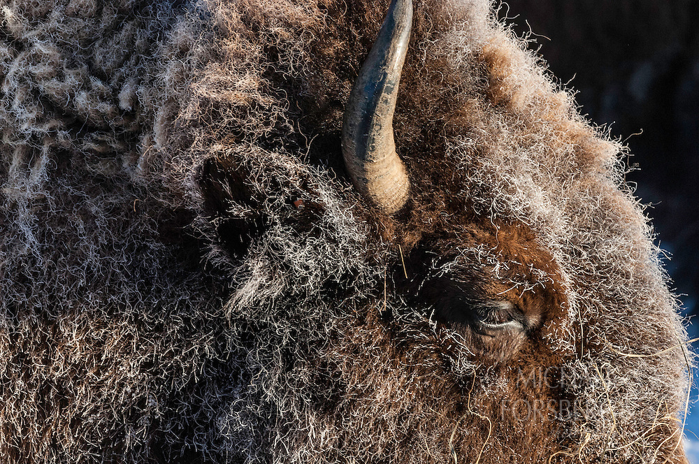 Jackson Fork Ranch, Upper Hoback River valley, near Bondurant, Wyoming<br /> <br /> Bison detail