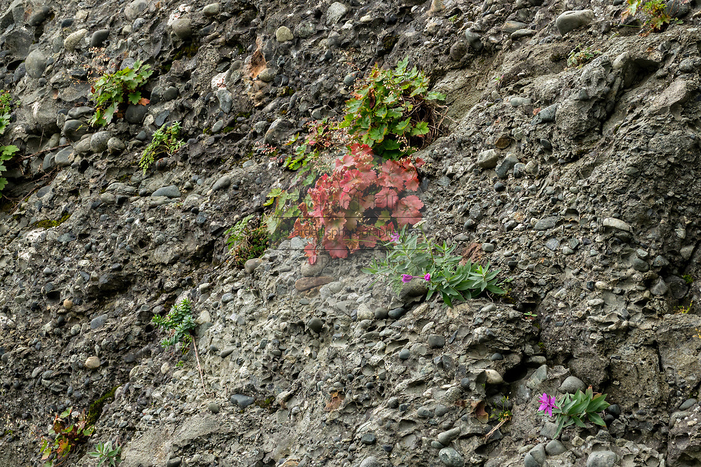 Wildflowers grow out of rocky outcrops on the cliff face along the Cook Inlet on a foggy day at the remote McNeil River Game Sanctuary in the Katmai Peninsula, Alaska. The remote park has the largest concentration of brown bears in the world.