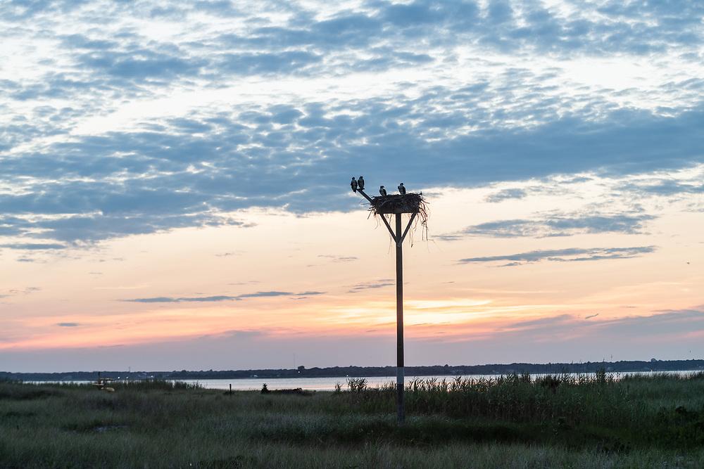 Osprey, Pike's Beach, Westhampton Beach, Westhampton Dunes, NY