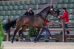 068, Mister Brown<br /> BWP Hengsten Keuring - Lier 2020<br /> © Hippo Foto - Dirk Caremans<br /> 16/01/2020