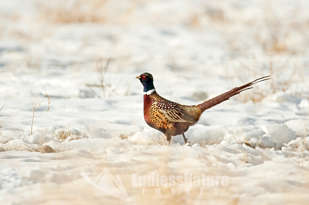 A Ring Necked Pheasant walks across a snow covered farm field.