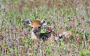 A just born White-tailed deer fawn rests in a grass field.
