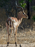 Impala on the Moditlo game reserve.