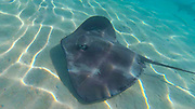 Sting Ray, Snorkeling, French Polynesia, South Pacific