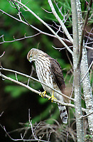 Cooper's Hawk (Accipiter cooperii), Courtenay, Vancouver Island, Canada   Photo: Peter Llewellyn