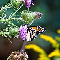 Monarch butterfly (Danaus plexippus) feeding on a Thistle flower (Cirsium)