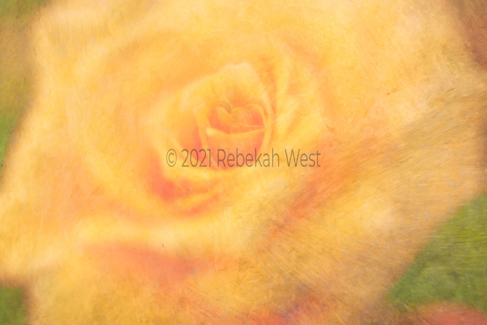 Deep delicious yellow rose close up painterly strokes of petals, soft, pastel, what little background remains has accents of pastel yellow green and rose, spiral of opening petals, bold, horizontal field, flower art, feminine, millennial pink, high resolution, licensing, 5616 x 3744