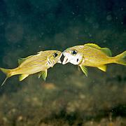 French Grunt inhabit reefs in Tropical West Atlantic, kissing behavior is a form of fightiing; picture taken Blue Heron Bridge, Palm Beach, FL.