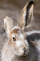 With its winter coloring almost gone, a white-tailed jackrabbit hangs out near Mammoth Hot Springs last week in Yellowstone National Park.