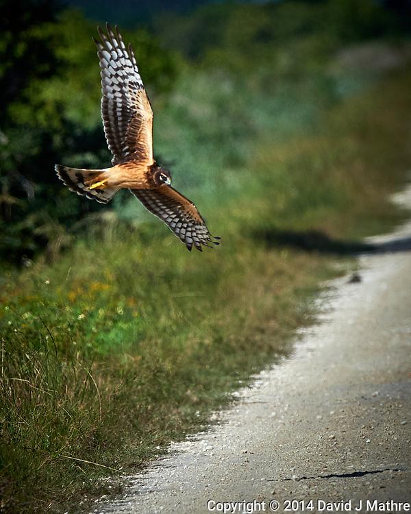 Hawk in Flight. Biolab Road, Merritt Island National Wildlife Refuge. Image taken with a Nikon D4 camera and 500 mm f/4 VR lens (ISO 560, 500 mm, f/8, 1/4000 sec).