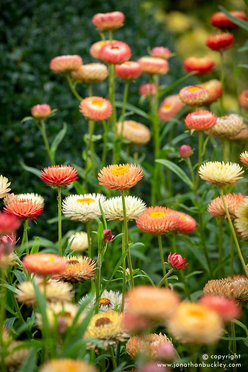 Bracteantha bracteata. Everlasting flower, Strawflower, Paper daisy, Immortelle